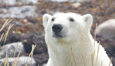 Polar Bear closeup Portrait 2 WB LT — Foto de Stock