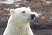 Polar Bear closeup portrait 2 — Stock Photo