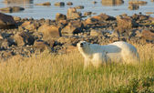 Polar Bear in the grass 1 — Foto de Stock