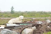 Polar Bear in the junkyard 2 — Stock Photo