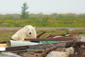Polar Bear in the junkyard — Stock Photo