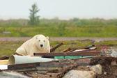 белый медведь в свалке — Стоковое фото