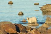 Polar Bear in the water 3 — Stock Photo