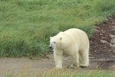 белый медведь на песчаных путь — Стоковое фото