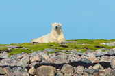 Ijsbeer op de rotsen 1 wb — Stockfoto