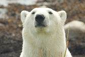 Polar Bear Portrait 3 — Stock Photo