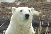 Polar Bear Portrait frontal — Foto de Stock