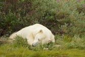 Polar Bear sleeping in the bush 1 — Stock Photo