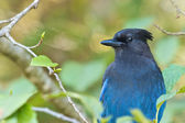 Stellar Blue Jay 1 WB — Stock Photo