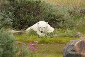 устал полярный медведь 1 — Стоковое фото
