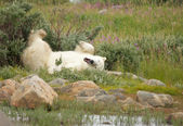 Wallowing Polar Bear 1 — Stock Photo
