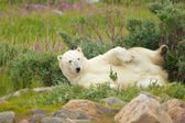Vältra sig isbjörn 2 — Stockfoto