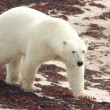 Polar Bear on the beach — Stock Photo