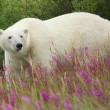 Polar Bear and Fireweed 1 — Stock Photo #33208087