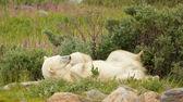 Polar Bear tired in the bushes — Foto de Stock