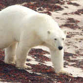 Polar Bear on the beach — Stock Photo