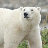 Polar Bear closeup 1 — Stock Photo