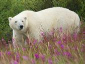 белый медведь и широколиственный 1 — Стоковое фото