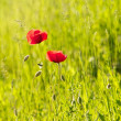 Red Poppy on a meadow — Stock Photo