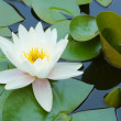 Water Lily closeup 2 — Stock Photo