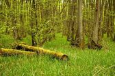 Dead tree trunks in the woods — Stock Photo