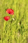 Red Poppy on a meadow 2 — Stock Photo