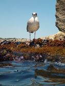 Suspicious Seagull on a rock — Stock Photo