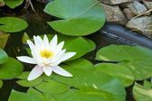 Water lily close-up 1 — Stockfoto