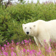 Polar Bear in the Fireweed A — Stock Photo