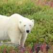 Polar Bear in the Fireweed B — Stock Photo