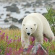 Polar Bear in the Fireweed C — Stock Photo