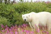 Polar Bear in the Fireweed A — Stock fotografie