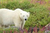 Polar Bear in the Fireweed B — Stock Photo