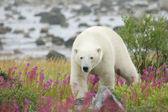 Polar Bear in the Fireweed C — Stock Photo