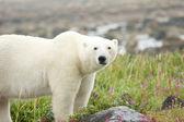 Polar Bear on the meadow — Stock Photo