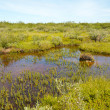 Tundra Bog — Stock Photo