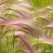 Wild Wheat Macro — Stock Photo