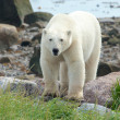 Curious Polar Bear closeup — Stock Photo