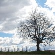 Tree in a vineyard — Stock Photo