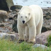 Curious Polar Bear closeup — Stock Photo