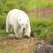 Funny and Cute Polar Bear — Stock Photo