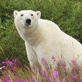 Sitting Polar Bear — Stock Photo