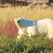 The Look of a Polar Bear — Stockfoto