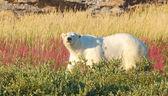 The Look of a Polar Bear — Stock Photo