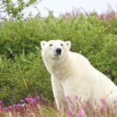 Polar Bear sitting in the grass — Stock Photo