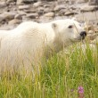 Polar Bear deep in the grass — Stock Photo