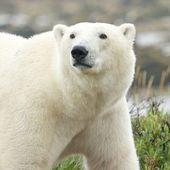 Ciekawski niedźwiedź polarny portret — Zdjęcie stockowe