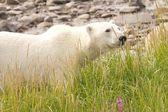 Polar Bear deep in the grass — Stock Photo