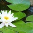 Water Lily closeup 4 — Stock Photo