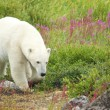 Polar Bear sniffing in the grass 2 — Stock Photo